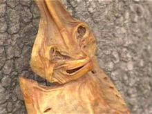 It looks like an alien, but it is just a shovelnose guitarfish.(WRAL-TV5 News)