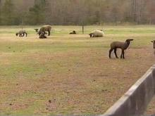 Officials Investigate Deaths Of Animals In Johnston County