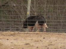 Fuquay-Varina Board Orders Pig Shelter To Leave Town