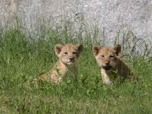 Lion Cubs Make Debut At N.C. Zoo