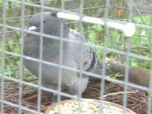 Wayward Pigeon Finds Way Home