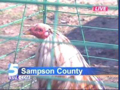 Sampson Cockfight