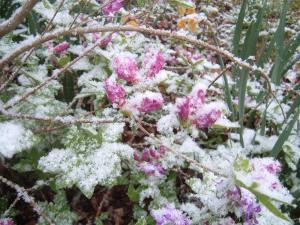 Snow blankets azaleas in Grove Hill in Warren County on Saturday, April 7, 2007. (Jim McQuillan photo)