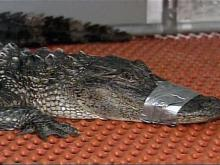 Neighbor Nabs Unwanted Gator for Friend