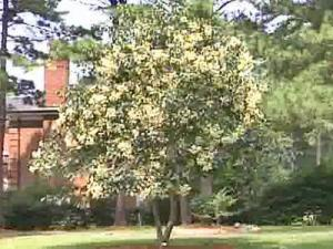 A rare tree, which is native to China, bloomed for the first time in a Raleigh homeowner's yard this summer.