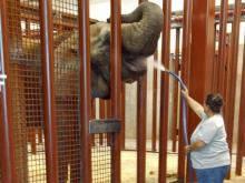 Zoo keeper Jackie Buck gives a cool drink of water to Samantha. The North Carolina Zoo
