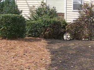Fire officials say dried pine straw is very combustible and can help fuel flames from fire. It was to blame for spreading a fire that destroyed more than three dozen townhomes in Raleigh last year.