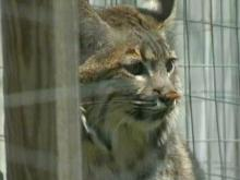 Red tape forcing man to give up pet bobcat