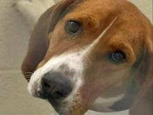 Dogs in heat at Wake shelter