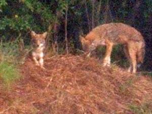 Pictures of coyotes taken outside of a Wake Forest home. (photos courtesy of Ed Schwerin)