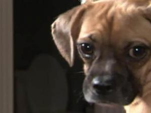 Albie, a Puggle, hated his kennel, was not housebroken and liked to bark – a lot.