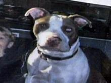 Tamara Levalley's 6-month-old pit bull, who went missing Feb. 14, 2009.