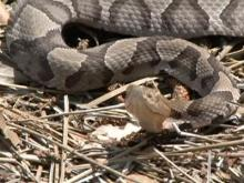 Snake encounters on the rise Carolinas Poison Center Treating and ...