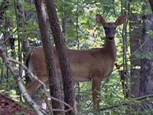A deer roams Umstead Park.