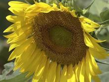 Sunflowers could produce biofuel for Raleigh