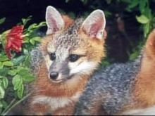 Wake Forest teen bit by fox
