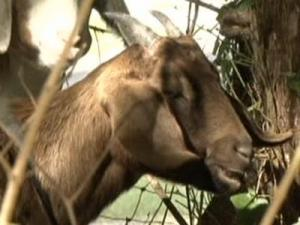 A goat eats poison ivy at Hank Anderson Community Park in Carrboro.