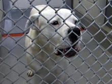 Stray pit bulls blamed for pets' attacks