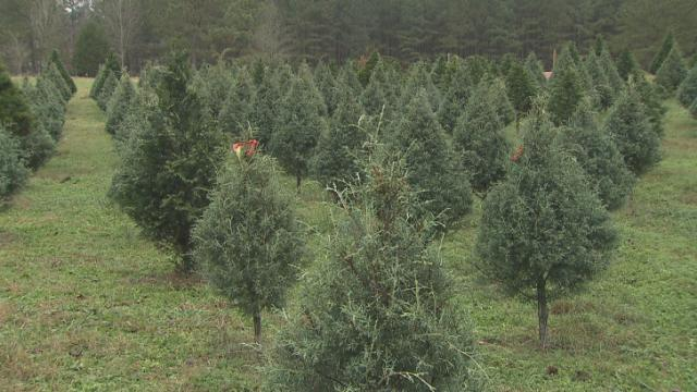 North Carolina is one of the nation's leading growers of Christmas trees.