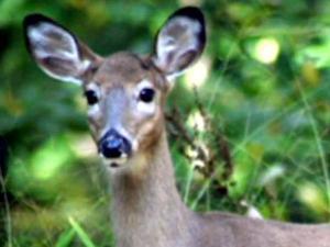 Deer population becomes problem for Chapel Hill