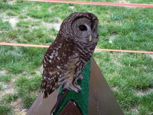 Christopher Columbus, a rescued barred owl, was a crowd draw at Durham's Earth Day festival. He was struck by a car and is now deaf and blind on his right side Gail Abrams, with the Piedmont Wildlife Center, reminded people at the festival not to throw litter out of car windows because it attracts birds to dangerous roadways.