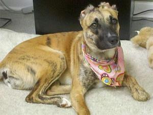 Susie was tortured, burned and left to die in Greensboro in August 2009. Her case has prompted a bill that would stiffen the penalty for animal abuse in North Carolina. (Photo courtesy of Facebook)