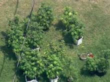 Deputies seize marijuana plants from Willow Spring home