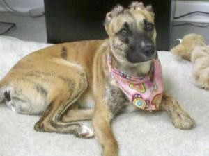 Susie, now a 1-year-old pit bull-shepherd mix, was beaten, set on fire and left to die as a puppy. Susie survived, was rescued and has been adopted. She lost her ears, though, and still bears scars.