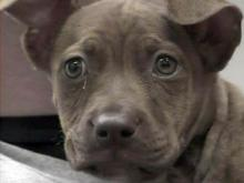 Authorities say puppy was burned in domestic dispute