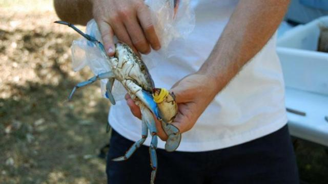 Carolina Ocean Studies brought a live crab to the UNC Science Expo held on the Chapel Hill campus on Sept. 25, 2010.