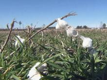 NC farmers bet on growing cotton demand