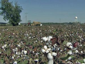 Halifax County farmer Jerry Hamill bet that growing demand for cotton would help him turn a profit in 2011.