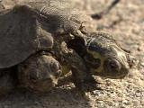 Two-headed turtle found in Garner