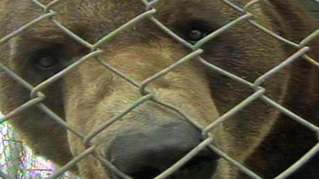 Ben, a 550-pound black bear, lived in a 22-by-12-foot cage at Jambbas Ranch in Fayetteville until a judge ordered it to be sent to a California facility that could provide better care.