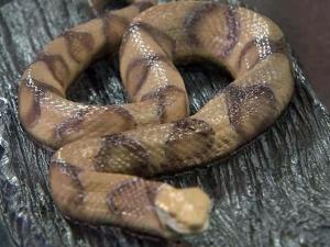 Model of a copperhead snake