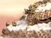 Expert: Yellow jacket swarms swell this summer