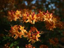 The WRAL Azalea Garden has begun blooming in spring 2012.