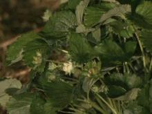 Most local farmers avoid hard freeze