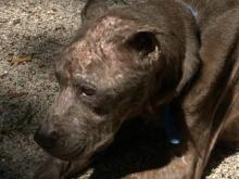 Pit bull-mix recovering after being abandoned