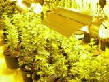 Police find massive marijuana operation in Roanoke Rapids