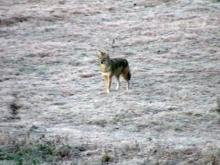 Orange County officials to address coyote problem in public meeting