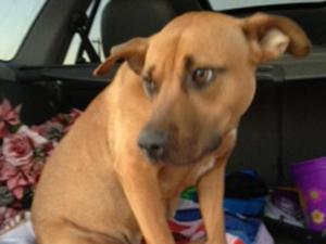 "A brown pitbull-mix given the name ""Little Mama"" died Sunday after she was shot in her stomach. (Photo courtesy of Tina Narron)"