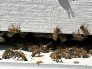 Bees are abandoning hives in increasing numbers, and a recent study suggests a pesticide may be to blame.