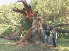 Red oak tree in Zebulon crashes down after four centuries