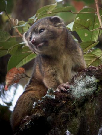 The olinguito was announced Aug. 15, 2013, as the world's newest species. The team of scientists that discovered the small carnivore included  Roland Kays, a professor at North Carolina State University.