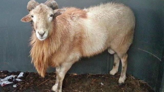 Bubba the ram. Photo courtesy of the Durham County Sheriff's Office.