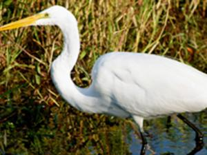 Great egret. Photo courtesy of allaboutbirds.org