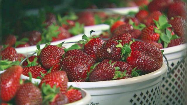 Heavy rains across central North Carolina caused extensive damage to crops, especially strawberries.