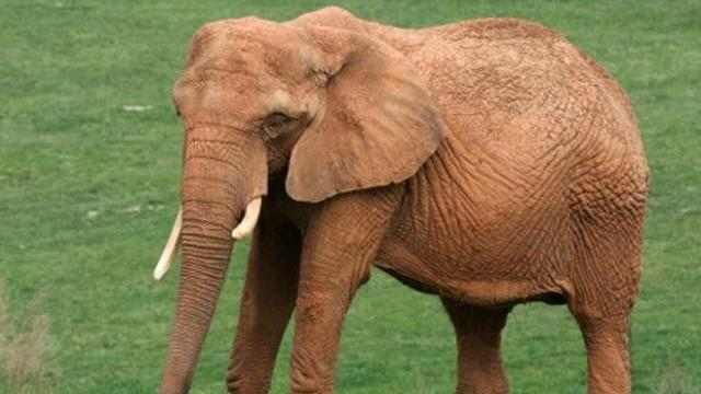 Little Diamond, a 36-year-old elephant at the North Carolina Zoo in Asheboro, died June 17, 2014. (Courtesy of North Carolina Zoo)