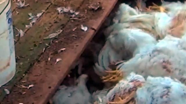 Animal-rights group Compassion Over Killing alleges that chickens are buried alive at a farm near Fuquay-Varina. The State Bureau of Investigation is looking into the allegation. (Photo from Compassion Over Killing undercover video)